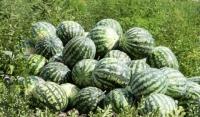 Сбор урожая арбузов начался в Чеченской Республике