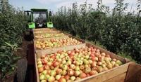 В Чечне планируют собрать более 10 тысяч тонн яблок