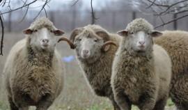 Фонд Ахмата-Хаджи Кадырова раздал малоимущим семьям 600 баранов