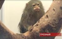 «Парад обезьян» в Грозном