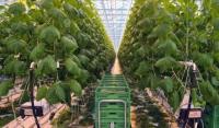 Третью очередь тепличного комплекса по выращиваю овощей запустят в ЧР в 2020 году