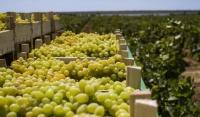 Виноградари Чечни планируют в 2019 году собрать более 1,5 тыс. тонн винограда