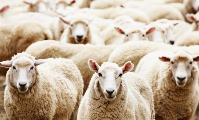 РОФ им. А-Х. Кадырова раздал 23 тысячи голов мелкого рогатого скота жителям ЧР